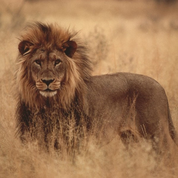 Africa_Lion2-resized-600x600