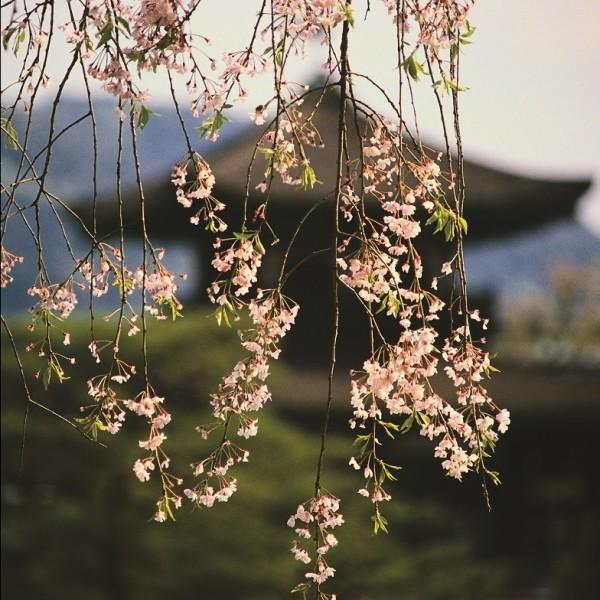 Japan_cherryblossoms (resize)