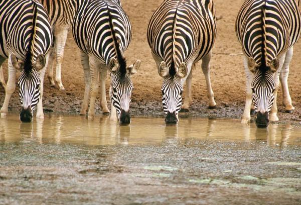 Africa_Zebras