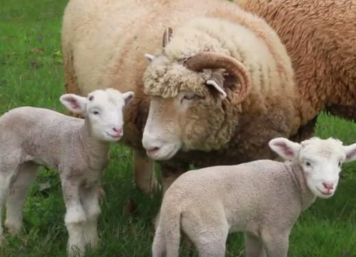 Baby Rams