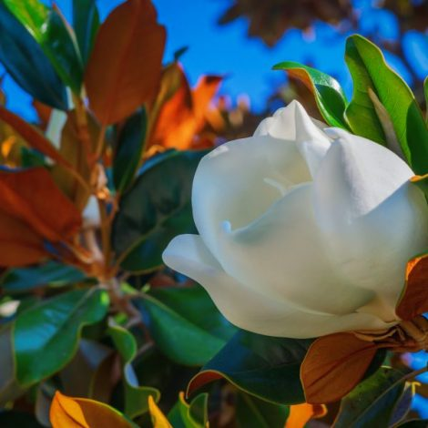 Hillsborough: Make a Magnolia Wreath